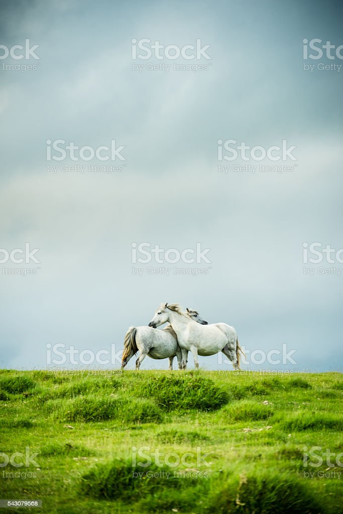 wild horses couple, love and togetherness stock photo