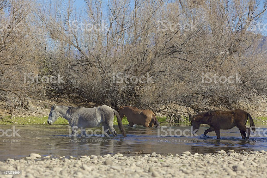 Wild Horses Crossing the Salt River royalty-free stock photo