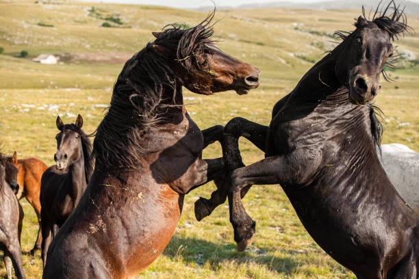 Wildpferde kämpfen – Foto