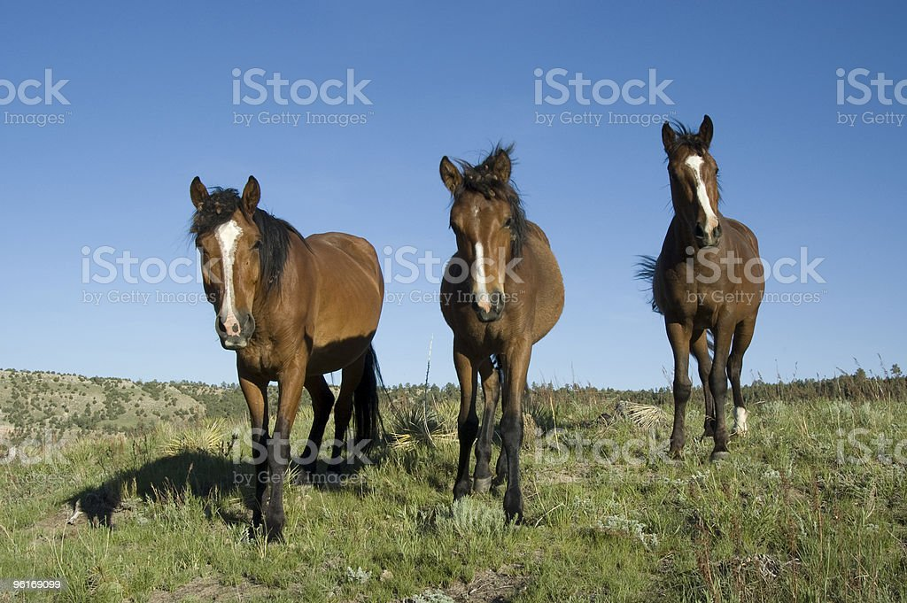 Wild Horses from the Black Hills Sanctuary royalty-free stock photo