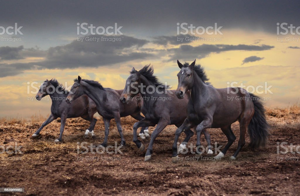 Wild horses gallop stock photo
