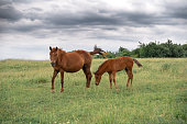 Young horse with his mother grazing.