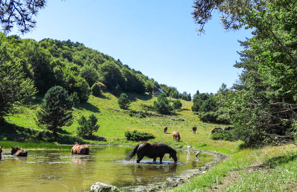 Wild horses in Aran valley in the Catalan Pyrenees, Spain. Wild horses in Aran valley in the Catalan Pyrenees, Spain. The main crest of Pyrenees forms a divide between France and Spain, with the microstate of Andorra sandwiched in between lleida stock pictures, royalty-free photos & images