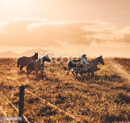 wild horses in australia