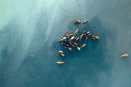 Wild Horses in Lake in Kayseri / Turkey. Taken via drone