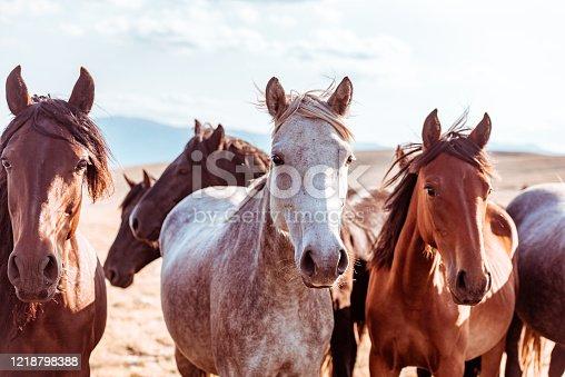istock Wild horses in nature reserve 1218798388