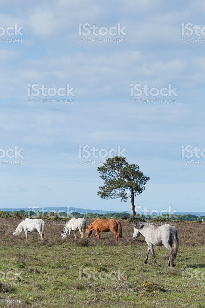 wild horses in the New Forest Hampshire England stock photo