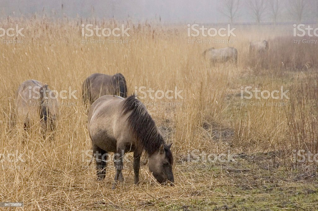 Wild horses in the Oostvaardersplassen royalty-free stock photo