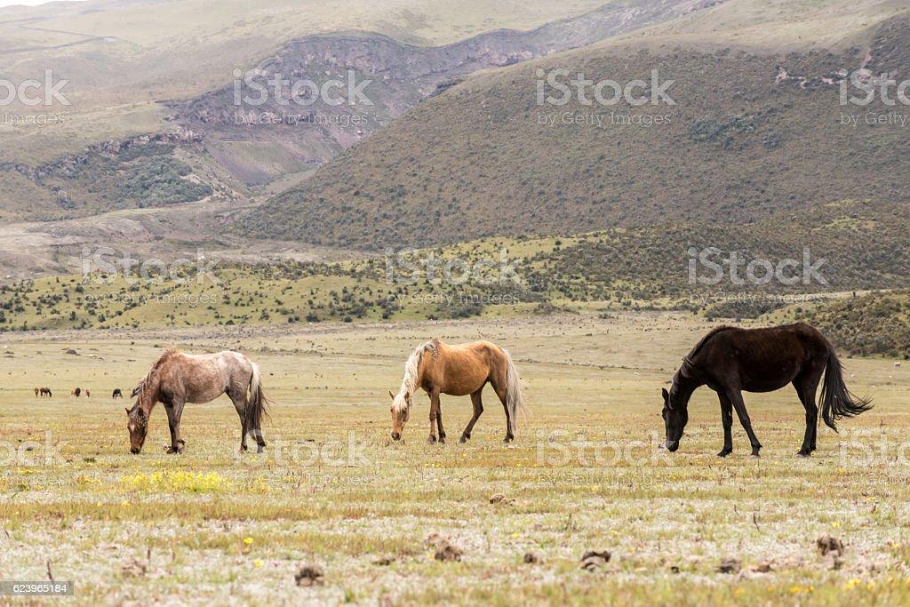 Wild Horses in Volcano Cotopaxi National Park, Ecuador South America stock photo