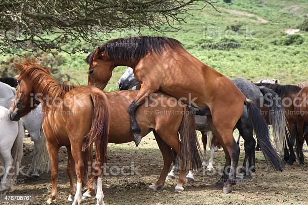 the new forest national park, hampshire, southern england, uk, due to the recent decline in population the new forest pony is now a rare breed
