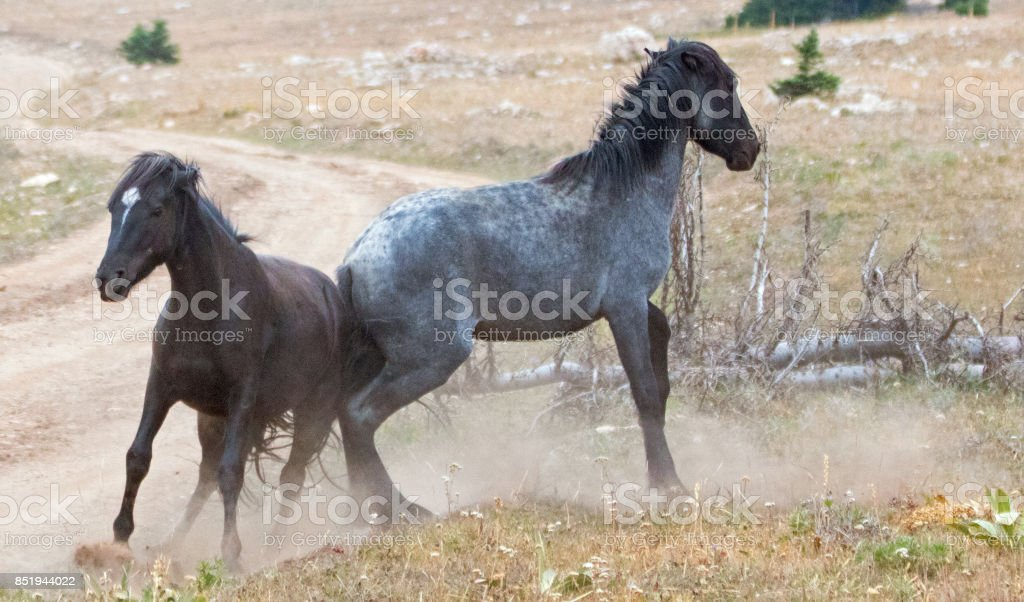 Wild Horses Mustang Stallions Kicking While Fighting In The Pryor Mountains Wild Horse Range On The State Border Of Wyoming And Montana United States Stock Photo Download Image Now Istock