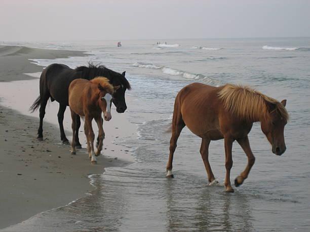 Wild horses of the outer banks picture id505501393?b=1&k=6&m=505501393&s=612x612&w=0&h=tpzmwft2 cg5ijqklnnnlrvqgivvcfovcjfzmsxi4n0=