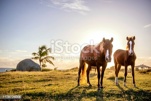 Wild horses roam freely on the small island of Vieques, a tropical paradise located off the east coast of Puerto Rico.
