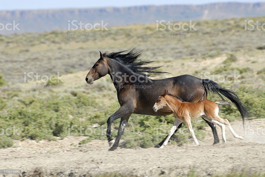 Wild Horses of Wyoming royalty-free stock photo