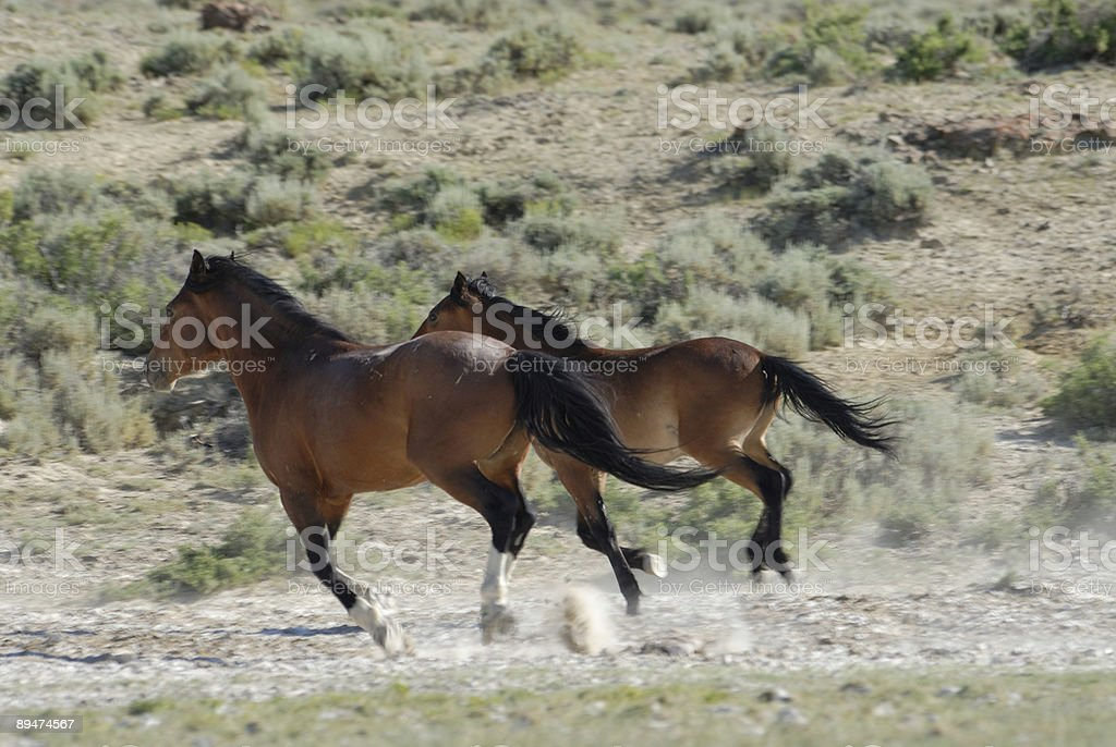 Wild Horses of Wyoming royalty-free stock photo