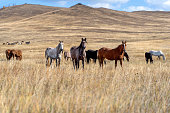 Wild horses on the prairie grazing at dried steppe in Central Asia.