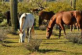 Mustangs graze near the Salt River in Central Arizona