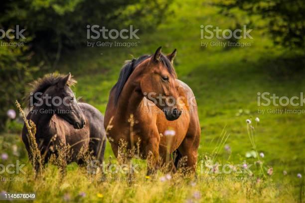 Wild horses picture id1145676049?b=1&k=6&m=1145676049&s=612x612&h=llisido2gyigbu97jztpsknqj08a8go7t9dyhqkb6tw=