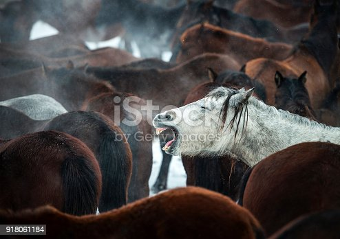 Horse whinnying among wild horses under snow, near Kayseri, Turkey