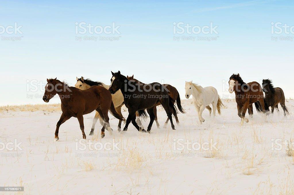 Wild Horses Running Across A Snowy Winter Swept  Desert stock photo