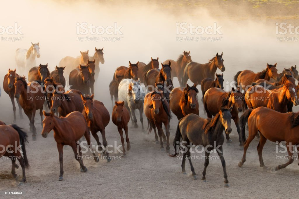 Wild Horses Running At Sunset Stock Photo Download Image Now Istock