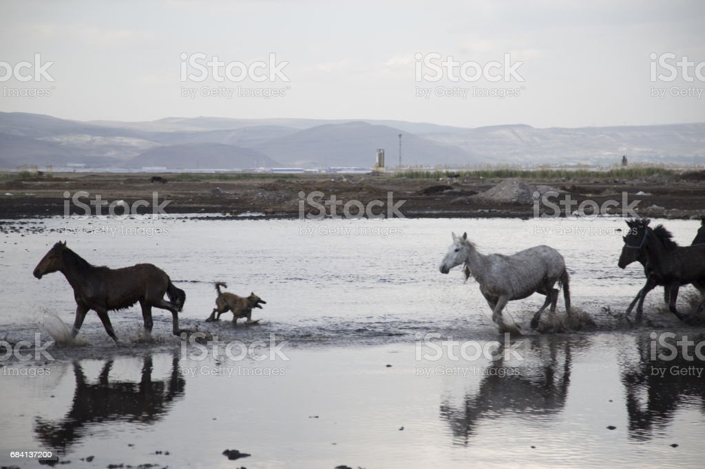 Wild horses running fast foto stock royalty-free