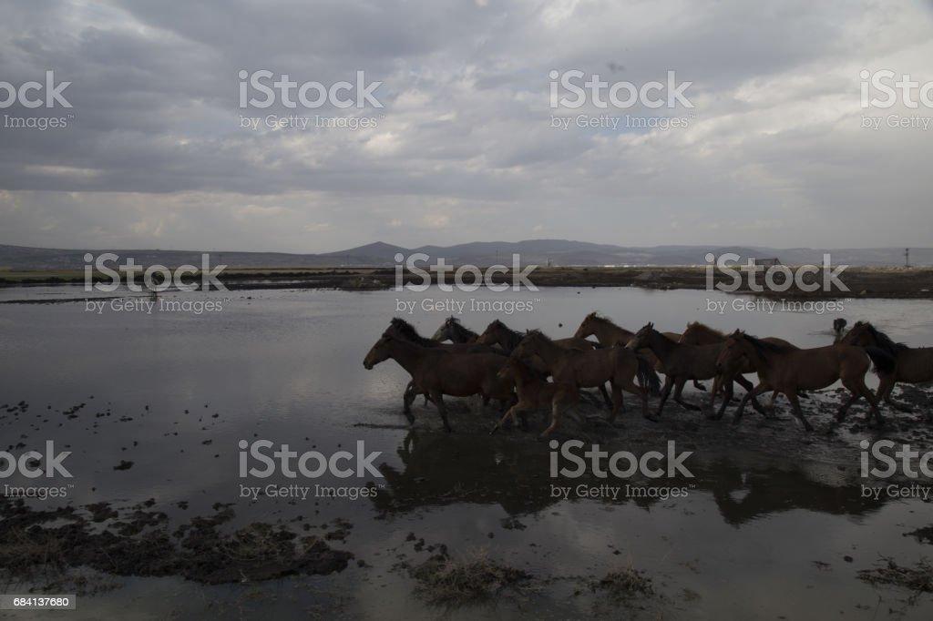 Wild horses running fast foto stock royalty-free