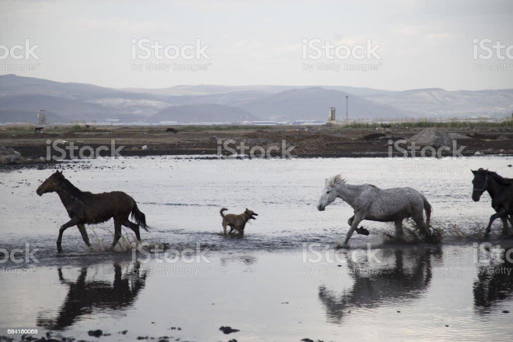 Vilda hästar igång snabbt royaltyfri bildbanksbilder