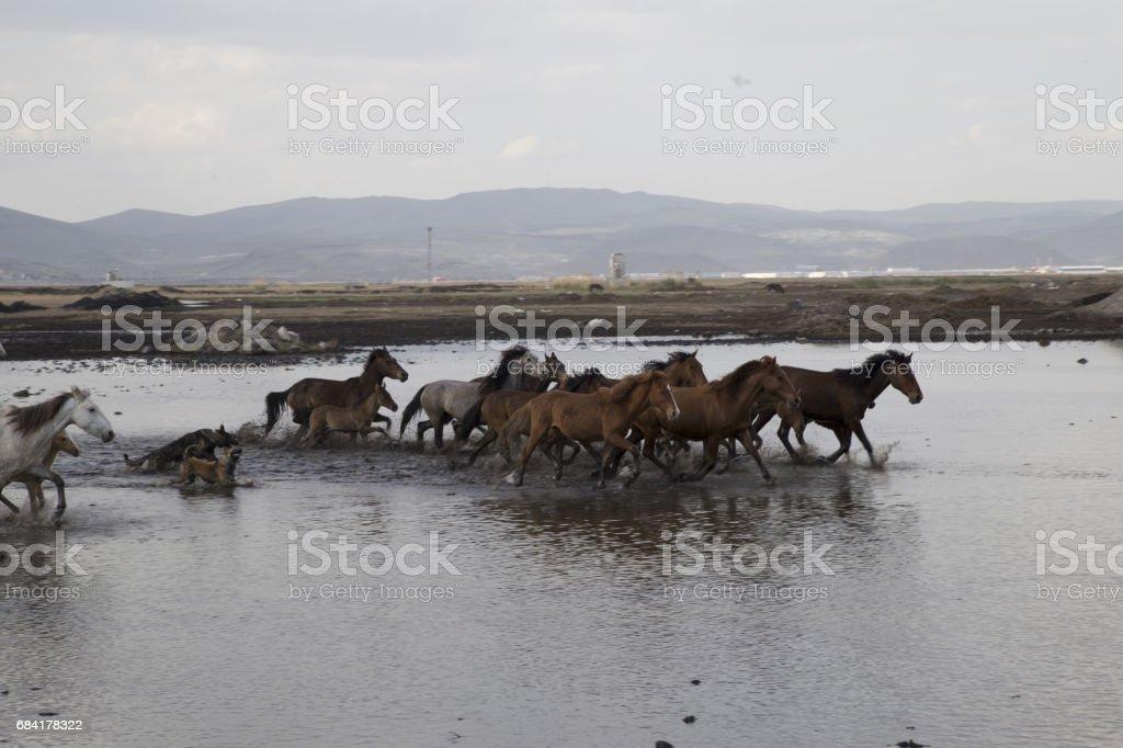 Wild horses running fast royalty-free stock photo