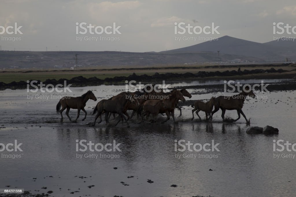 Wild horses running fast royalty-free stock photo