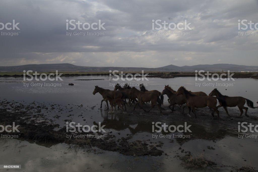 Chevaux sauvages, courir vite photo libre de droits