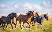 Close-up of a group of horses galloping free in rural Utah, USA.