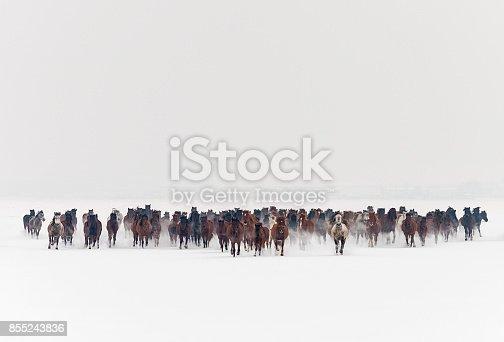 istock Wild horses running in snow 855243836