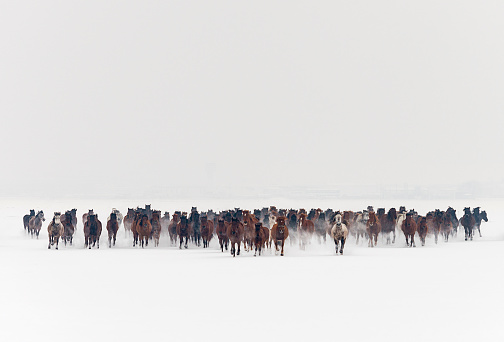 Large group of wild horses runs gallop in winter