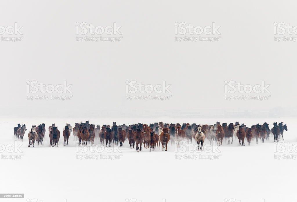 Wild horses running in snow stock photo