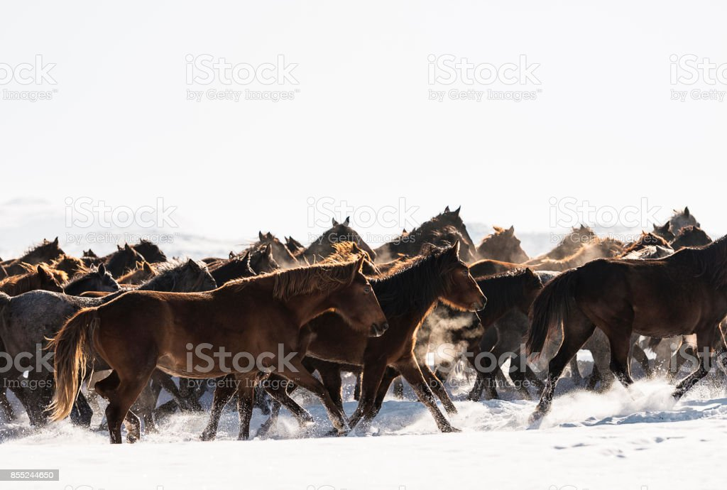 Wild Horses Running In Snow Stock Photo Download Image Now Istock