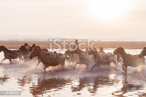 Wild Horses running in water