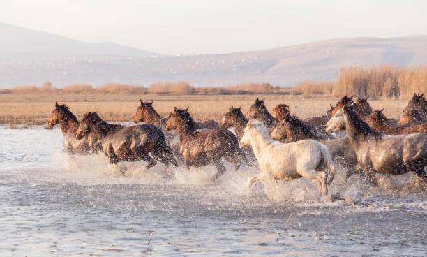 Wild horses running in water picture id916475852?b=1&k=6&m=916475852&s=612x612&w=0&h=x orqsm5r9wv0jzaljhe 1cncb87f5gbwyyhum8140o=