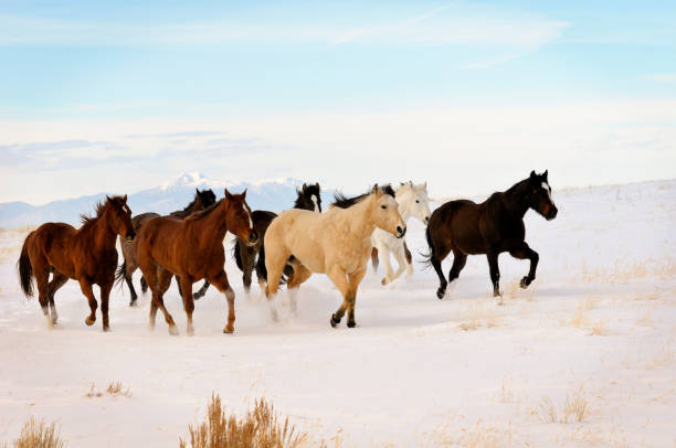 Wild Horses Running In Winter Range stock photo