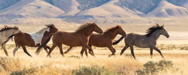 cavalli selvaggi in esecuzione - fauna selvatica foto e immagini stock
