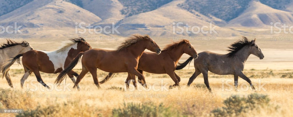 Wild Horses Running stock photo