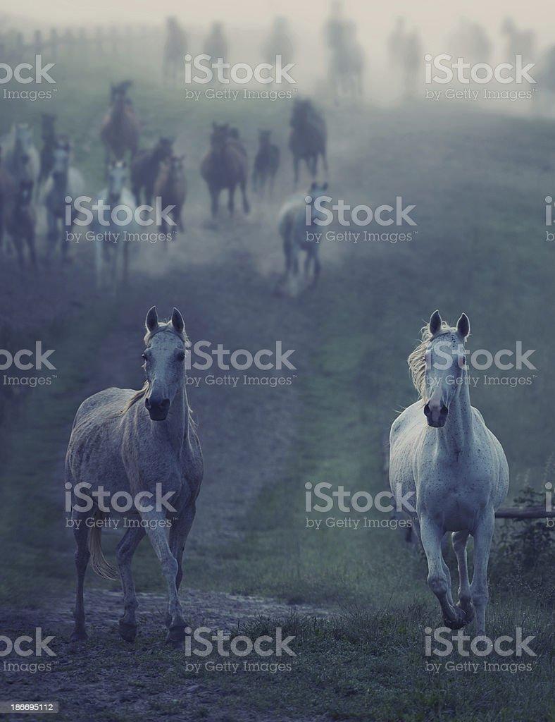 Wild horses running through the rular path royalty-free stock photo