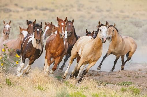 野生的馬跑美國猶他 照片檔及更多 一群動物 照片