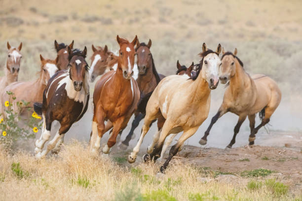 Wild Horses Running Utah USA stock photo