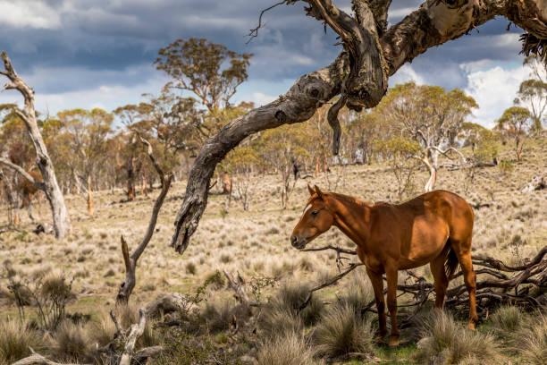 Wildpferde - sogenannte Brumbies - im Kosciuszko National Park in New South Wales, Australien, an einem bewölkten Tag im Sommer. – Foto