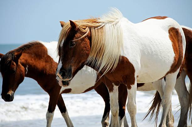 Wild Horses walking along Assateague Island, Maryland stock photo