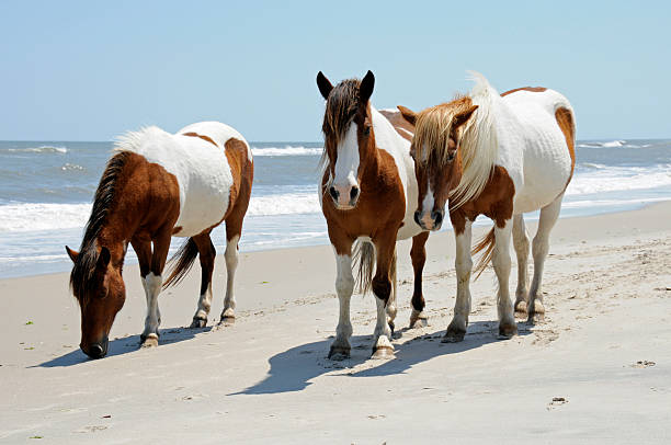 Wild Horses walking the Beach at Assateague Island The wild horses of Assateague Islands roam free along the beach of this barrier island in Maryland. These horses are said to be descendants of horses brought to islands along the coast in the late 17th century. Visitors can walk along the shore and see these animals in their natural environment. paint horse stock pictures, royalty-free photos & images