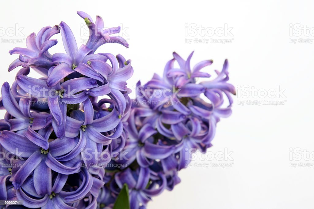 Wild Hyacinth royalty-free stock photo