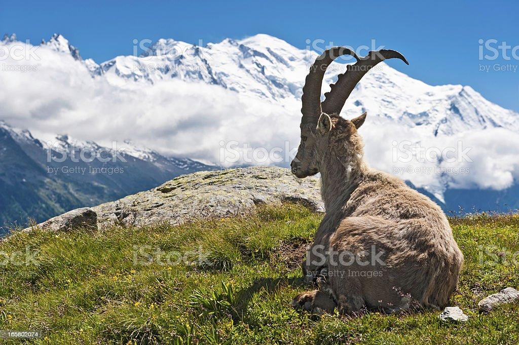 Wild Ibex overlooked by Mont Blanc summit Chamonix France stock photo