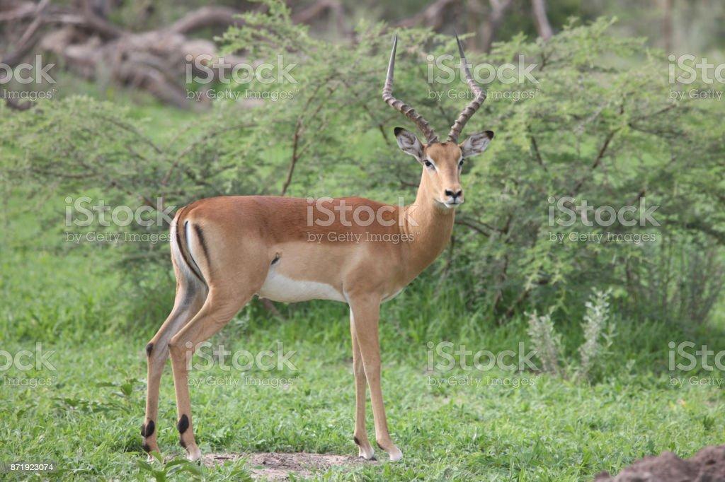 Wild Impala Antelope in African Botswana savannah stock photo